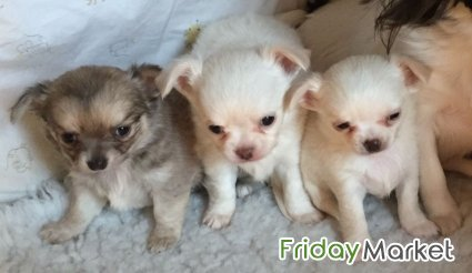 AKC Longhaired Chihuahua Girl / Boys Muscat Oman
